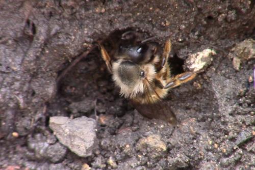 Burrowing Bee